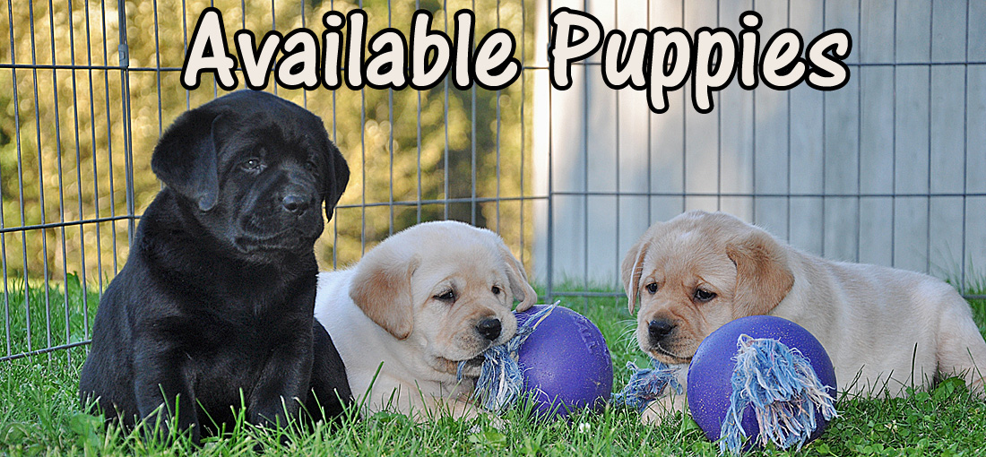 Riorock Labrador Retrievers Breeders New England New Hampshire East Coast area, Northeast Formerly  Colorado Black Chocolate Yellow Labs NH New Hampshire, CT, PA Pennsylvania Connecticut  Rhode Island RI VT Vermont MA Massachusetts New York NY ME Maine Puppies For Sale, Labradors, Labrador RetrieverNH lab Breeder